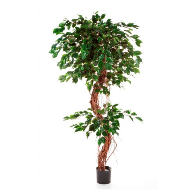 Ficus Twisted, 180cm 1